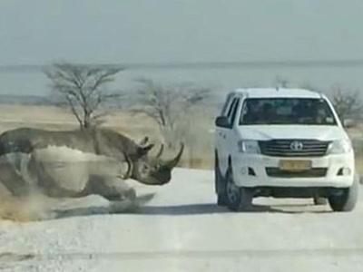 不速之客,犀牛怒撞丰田越野车